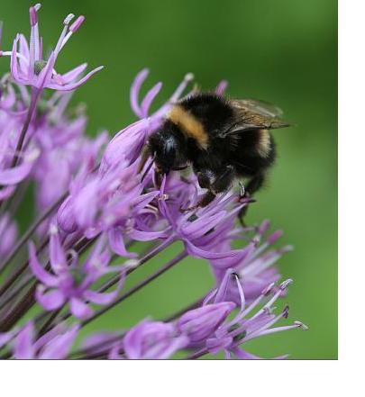 bumble_bees_1