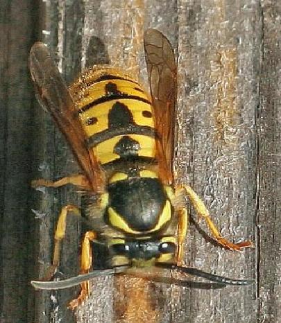wasp_pictures_1
